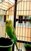 A cute green pet budgerigar — Stock Photo