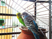 Whispering budgerigars — Stock Photo