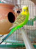 Sleeping budgerigar — Stock Photo