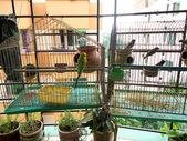 Birds of captivity- budgerigars and munias — Stock Photo