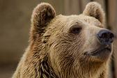 Staring bear — Stock Photo