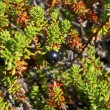 Stock Photo: Crowberry (Empetrum)