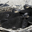 Cormorants nest — Stock Photo