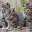 Three Baby Wildcats - Stock Photo