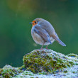 Round Robin - Stock Photo