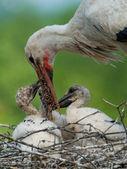 Stork is feeding his kids — Stock Photo