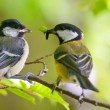 Great tit is feeding younger bird — Stock Photo #16850553