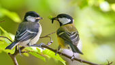 Great tit is feeding younger bird — 图库照片