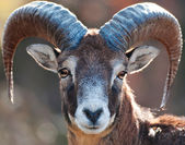 Mouflon Portrait — Stock Photo