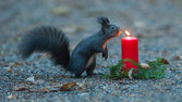 Squirrel is wondering about a candle — Stock Photo