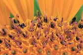 In a sunflower — Stock Photo