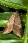 Butterfly like a leave on a leave ! — Stock Photo