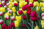 Land van tulpen — Stockfoto