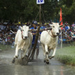 Cows Race in An Giang Province near Tri Ton - Vietnam — Stock Photo