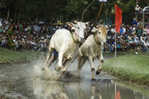Cows race near Tri Ton - An Giang Province - Vietnam — Stock Photo