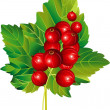 Red currant - Stock Vector