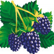 Stock Vector: Blackberries