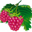 Raspberries — Stock Vector