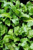 The juicy green tops of beet is in a garden — Stock Photo