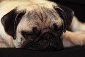 Mops dog — Stock Photo