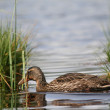 Stock Photo: Duck on lake in southern Bohemia
