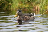 Duck on lake in southern Bohemia — Stock Photo