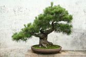 Bonsai pine tree — Stock Photo