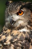 Owl on nature — Stock Photo