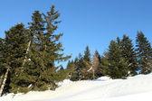 Pinheiros na neve — Fotografia Stock