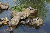 Tortugas tomando el sol en las piedras — Foto de Stock