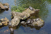 Turtles sunbathing on stones — Foto Stock