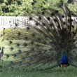 Male peacock showing tail feathers to female — Stock Photo #47132115