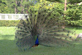 Male peacock displaying tail feathers — 图库照片