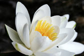 The great white water lily — Stock Photo