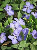 Wild violets — Stock Photo