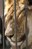 Lion sleep in zoo cage — Stock Photo