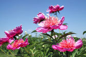 Peonies flower blooming in spring garden — Stock Photo