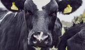 Vaca holandesa — Foto de Stock