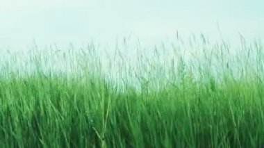 Green Grass On The Wind And Blue Sky — Vídeo de Stock