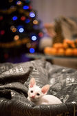 Cornish Rex kitten sitting — Stock Photo