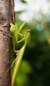 Praying mantis — Stockfoto