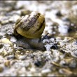 Stock Photo: Stone, snail, brown