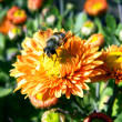 Bee on orange flower — Stock Photo