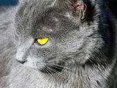 Gray cat with bright yellow eyes — Stock Photo