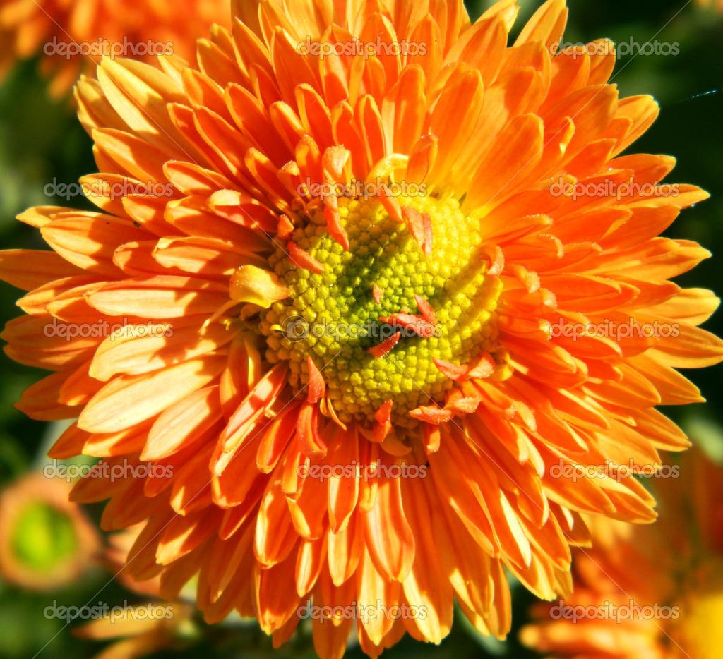 Hell orange Herbst Blume wie eine Sonnenblume — Stockfoto