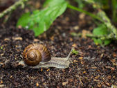 Snail crawling on the ground — Stock Photo