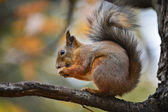 Gnawing squirrel — Stock Photo