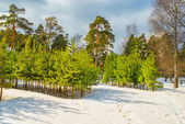Pine plantations — Stock Photo