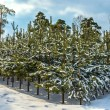 Pine plantation 2 - Stock Photo