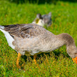 The goose pinching a grass — Stock Photo